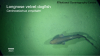Image of a longnose velved dogfish