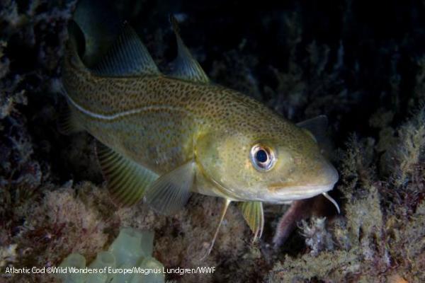 Atlantic cod ©Wild Wonders of Europe/Magnus Lundgren/WWF