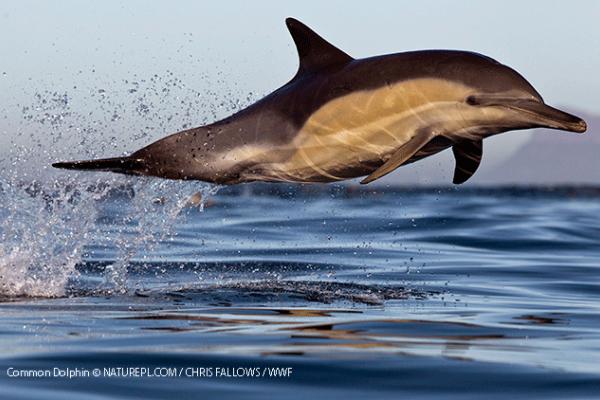 Common dolphin © NATUREPL.COM / CHRIS FALLOWS / WWF