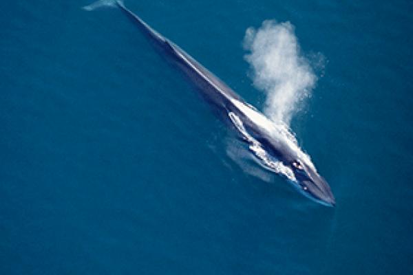 Fin whale © NATUREPL.COM / MARK CARWARDINE /WWF
