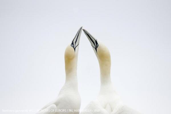 Northern gannets© WILD WONDERS OF EUROPE / PAL HARMANSEN / WWF