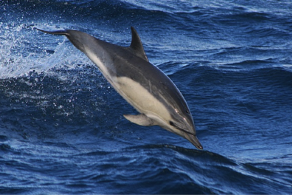 Common dolphin in the ocean