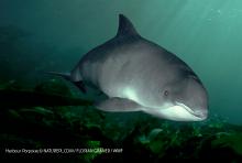 Harbour porpoise © NATUREPL.COM / FLORIAN GRANER / WWF