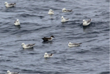 Great shearwater and fulmars