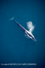 Fin whale © NATUREPL.COM / MARK CARWARDINE /WWF