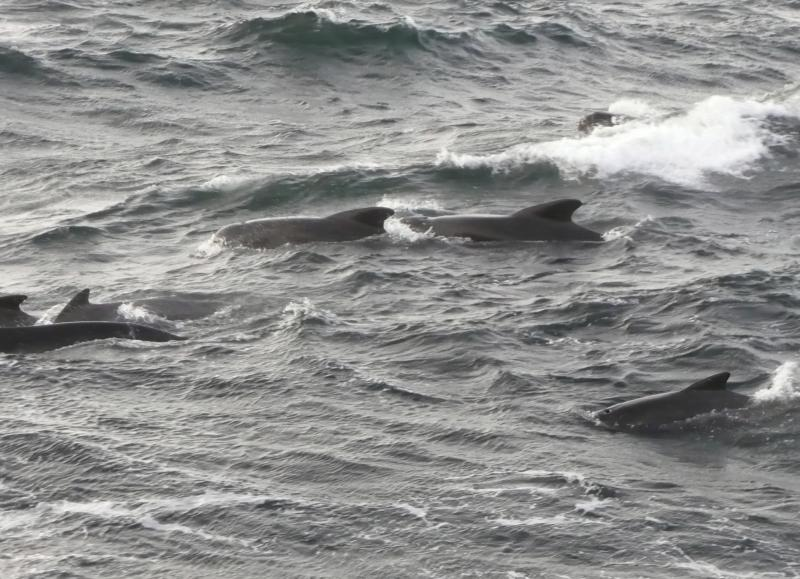 Pilot whales seen from the Extended Ellett Line