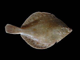 Plaice (credit: Hans Hillewaert)