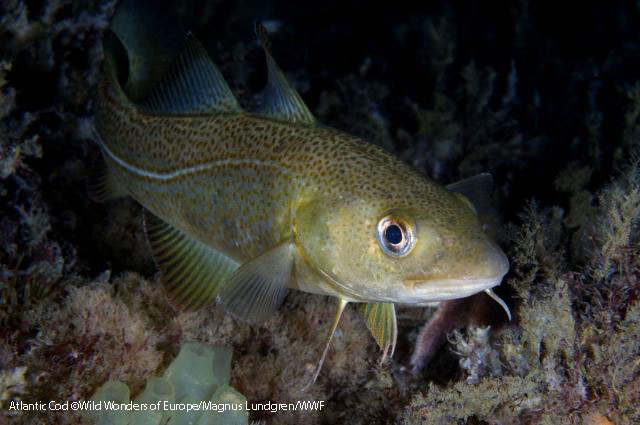 Atlantic cod ©Wild Wonders of Europe/Magnus Lundgren/WWF